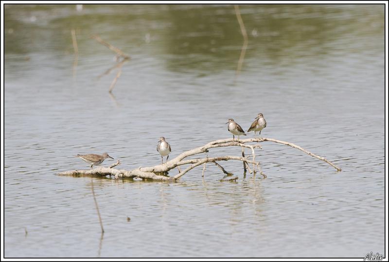 oiseaux dans la Dombes